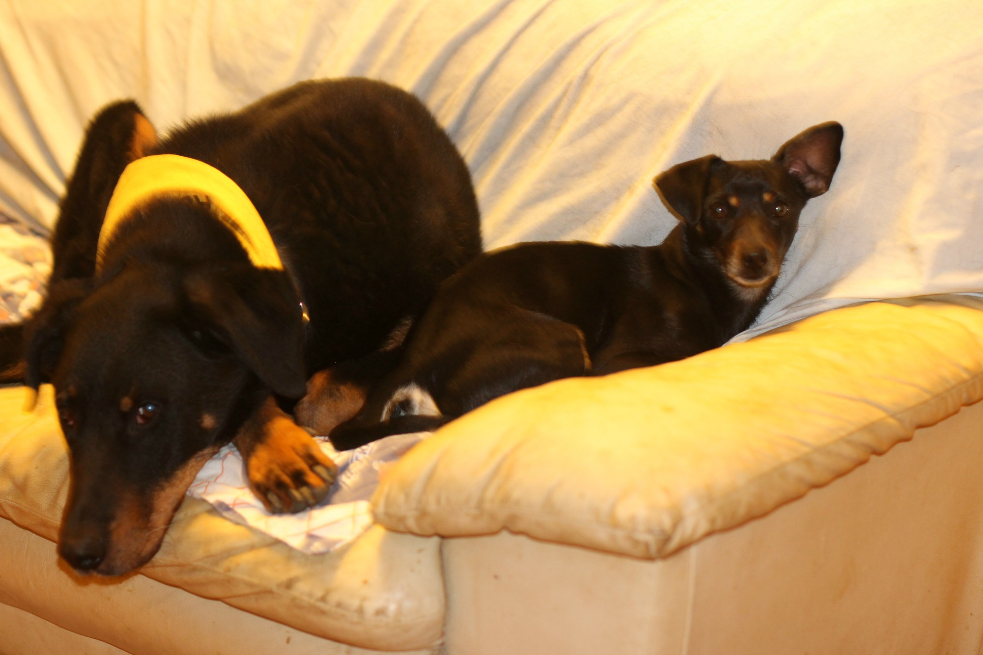 Two Of My Fosters. Effel The Beauceron Had Some Predatory Drift, Chased  Small Things And Nipped. No Way I Was Letting Him Out In The Garden At The  Same Time ...